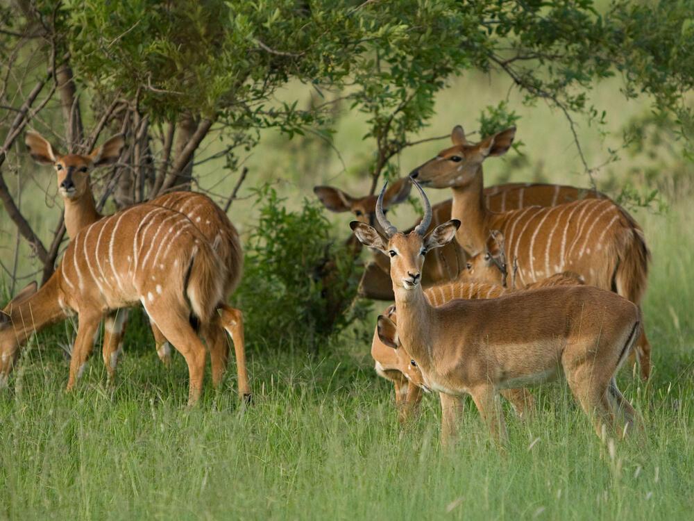 Wild Antelopes