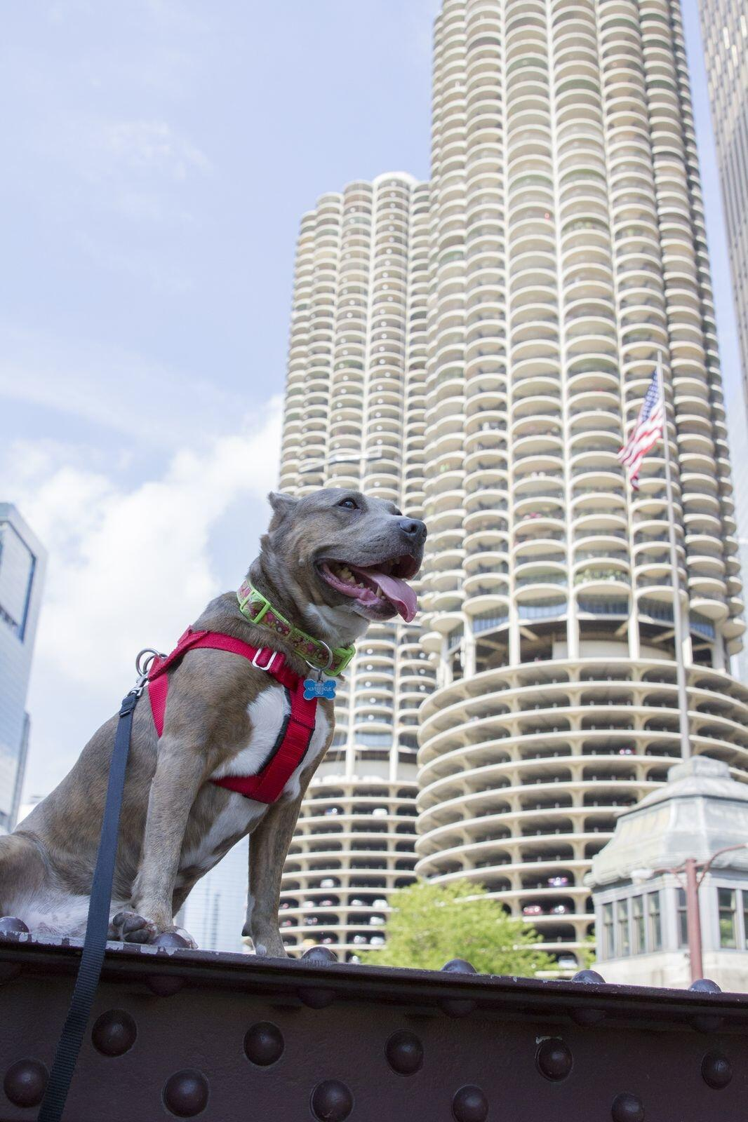 Dog Outdoors in Downtown Chicago