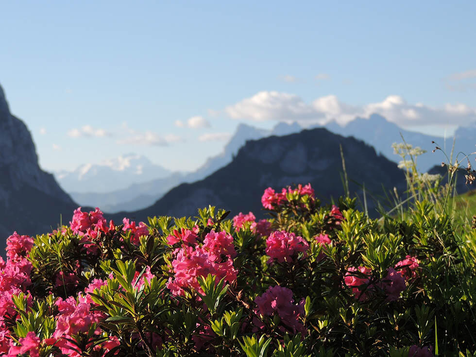 Pink Flowers with Rocky Mountains Background near Hotel Les Gent
