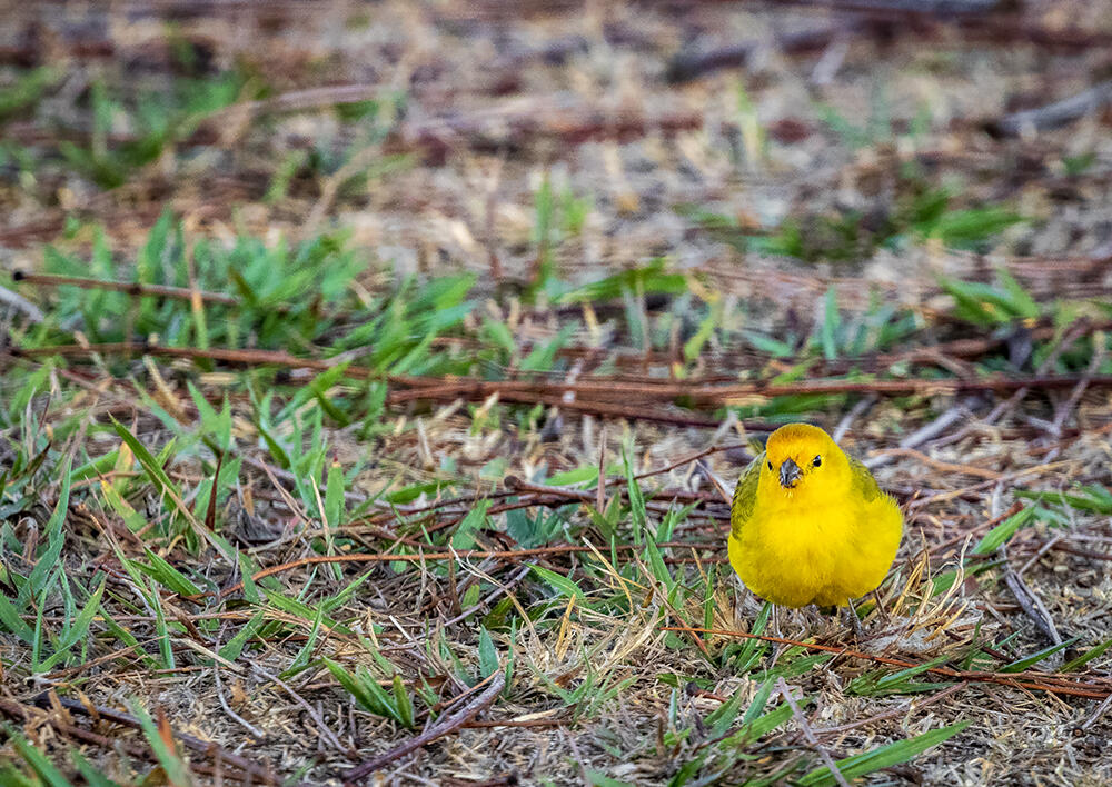 Little baby bird walking aroung on grass, he probably does know