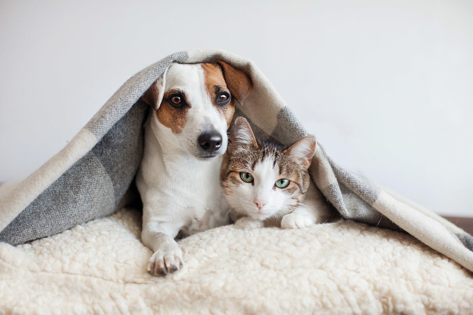 Dog and cat cuddling under covers