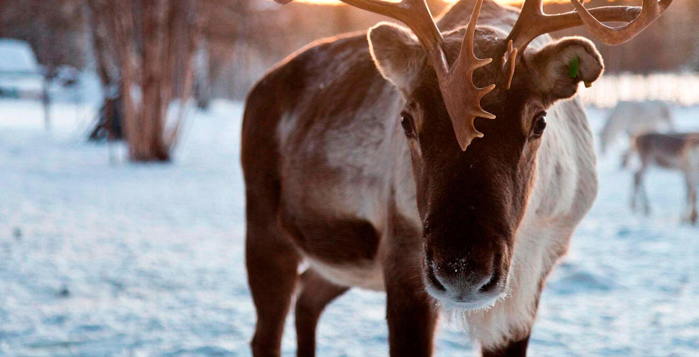 Reindeer at Northern Lights Village in Saariselkä, Lapland, Finl