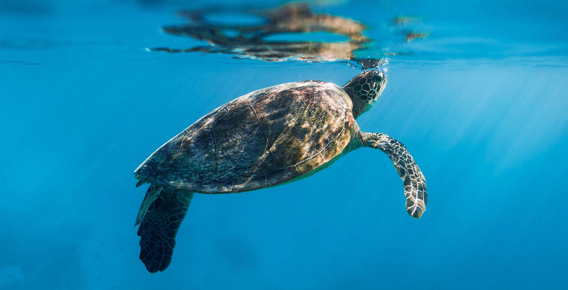 Turtle at Heron Island