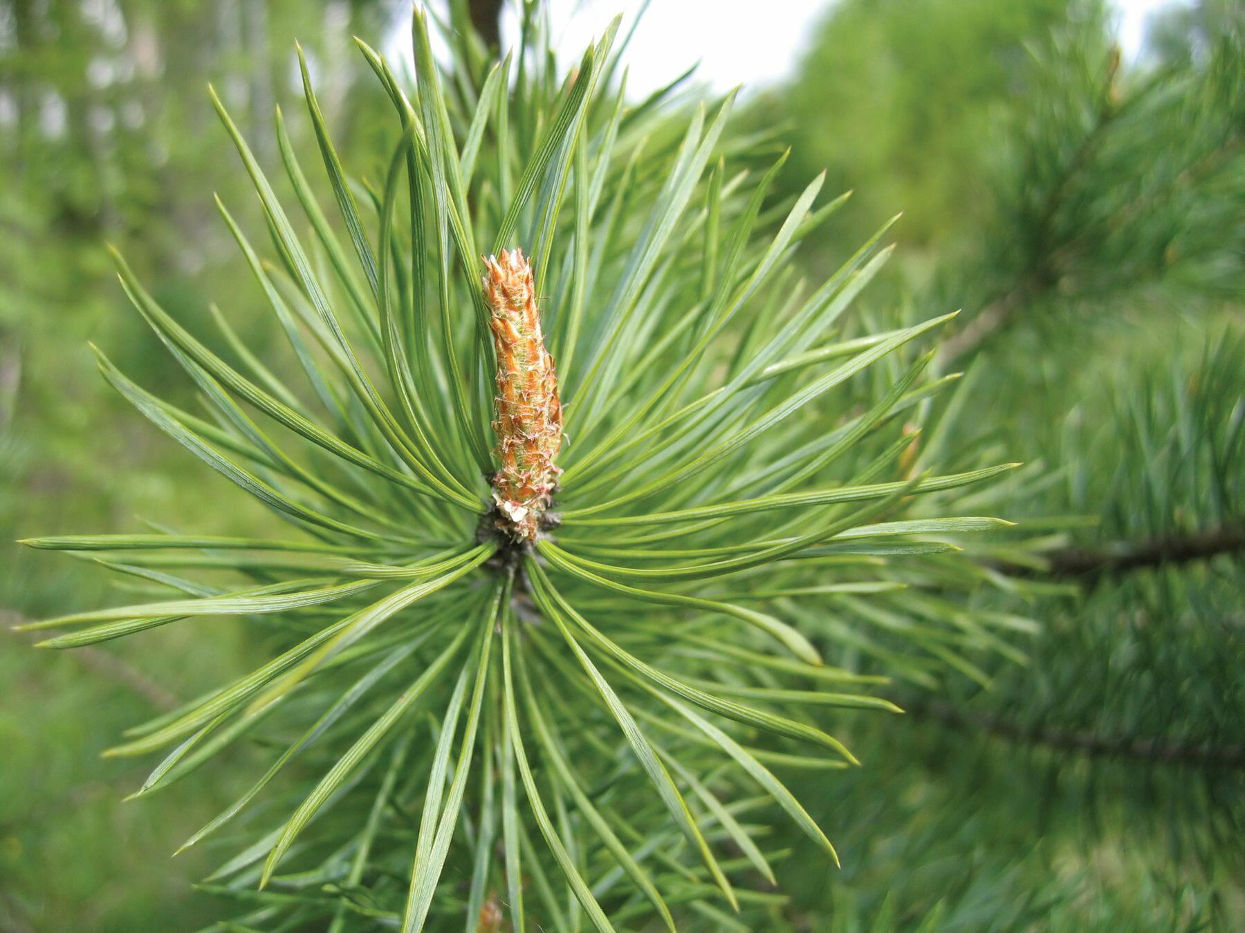 Bough of fir.