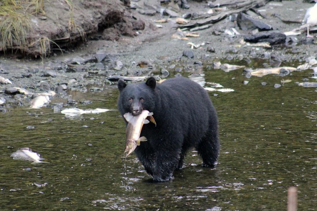 Photo of black bear with a fish in its mouth.