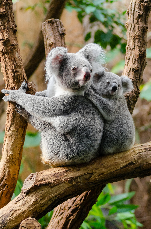 Koala Bears - Yarra Valley Lodge
