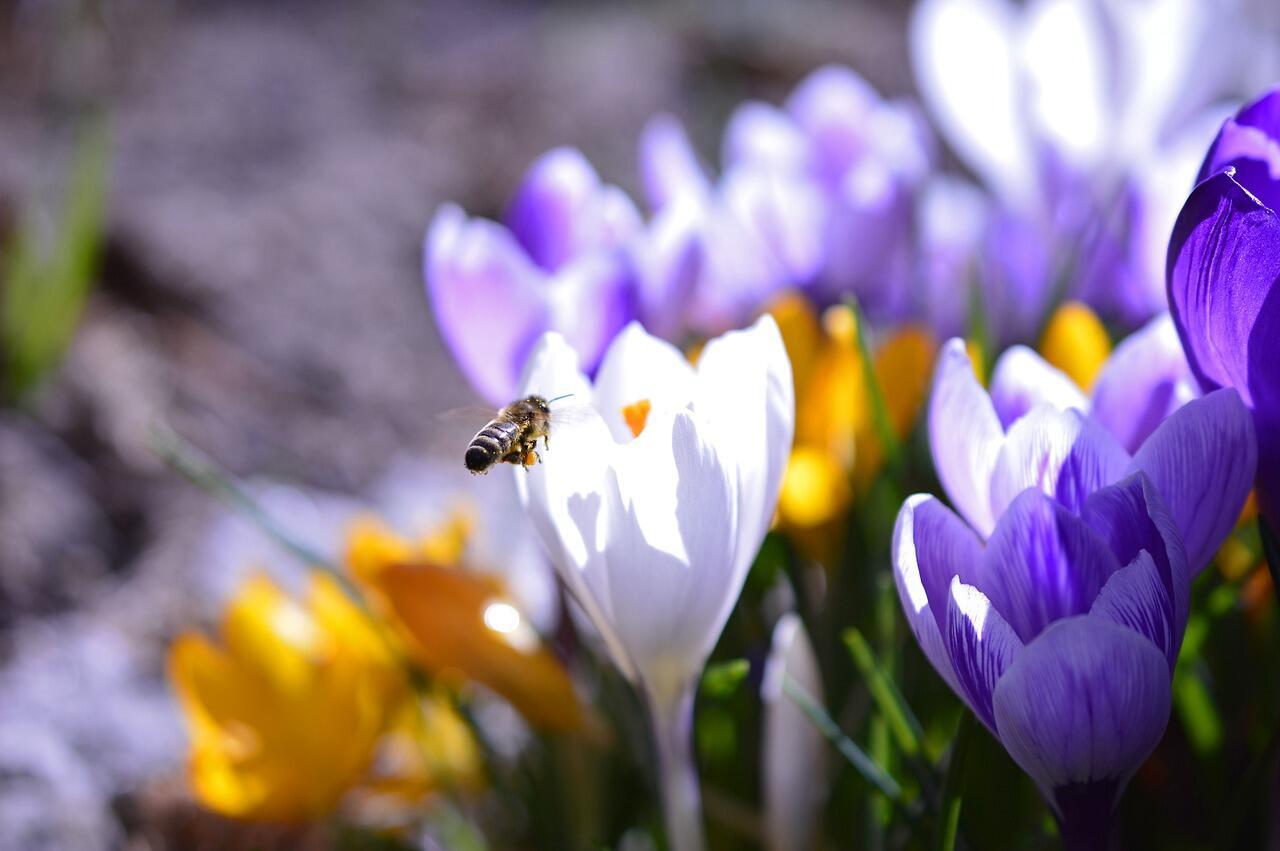 Fleurs blanches et violettes avec une abeille qui butine