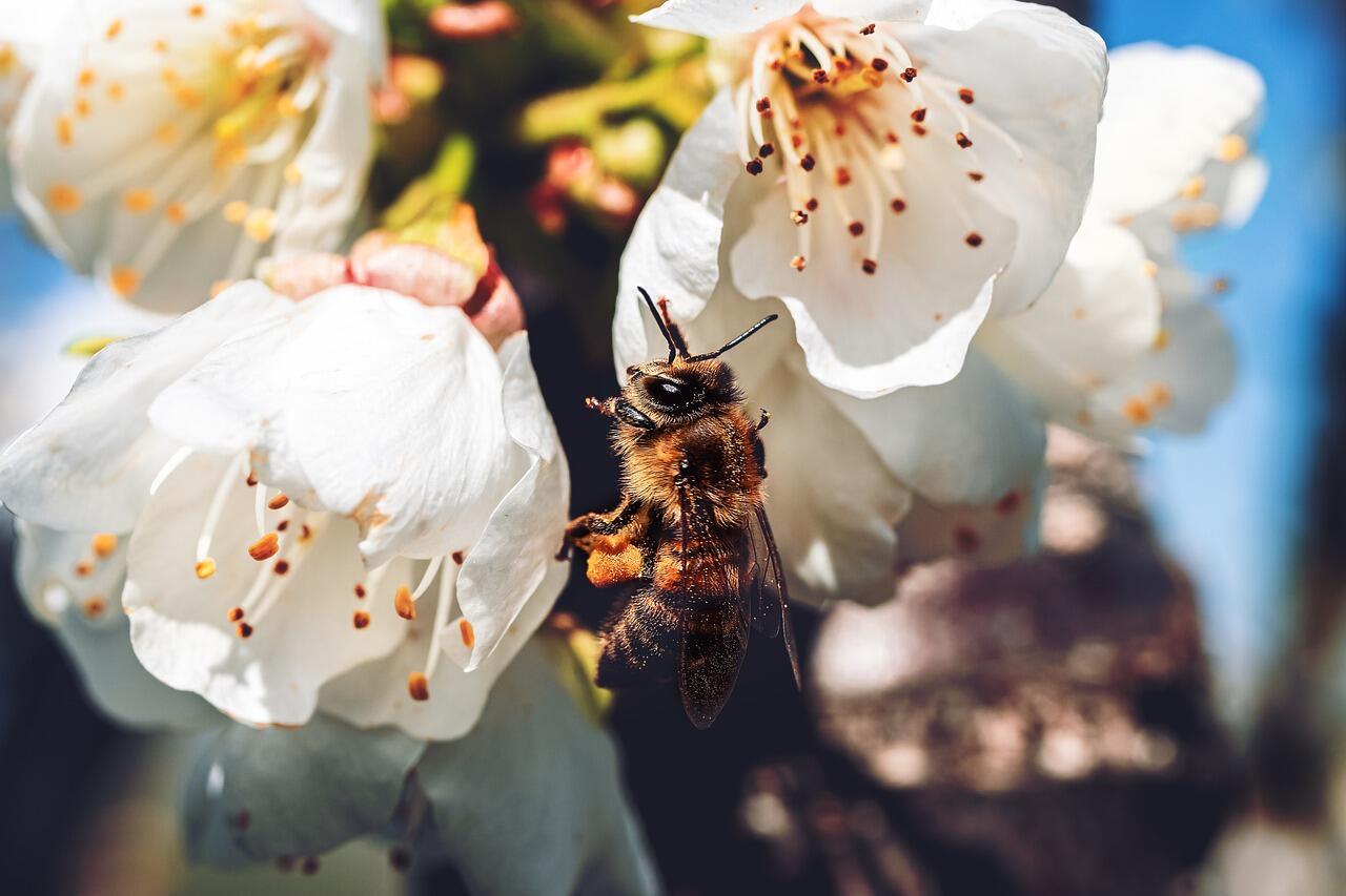 Fleurs blanches avec une abeille qui butine