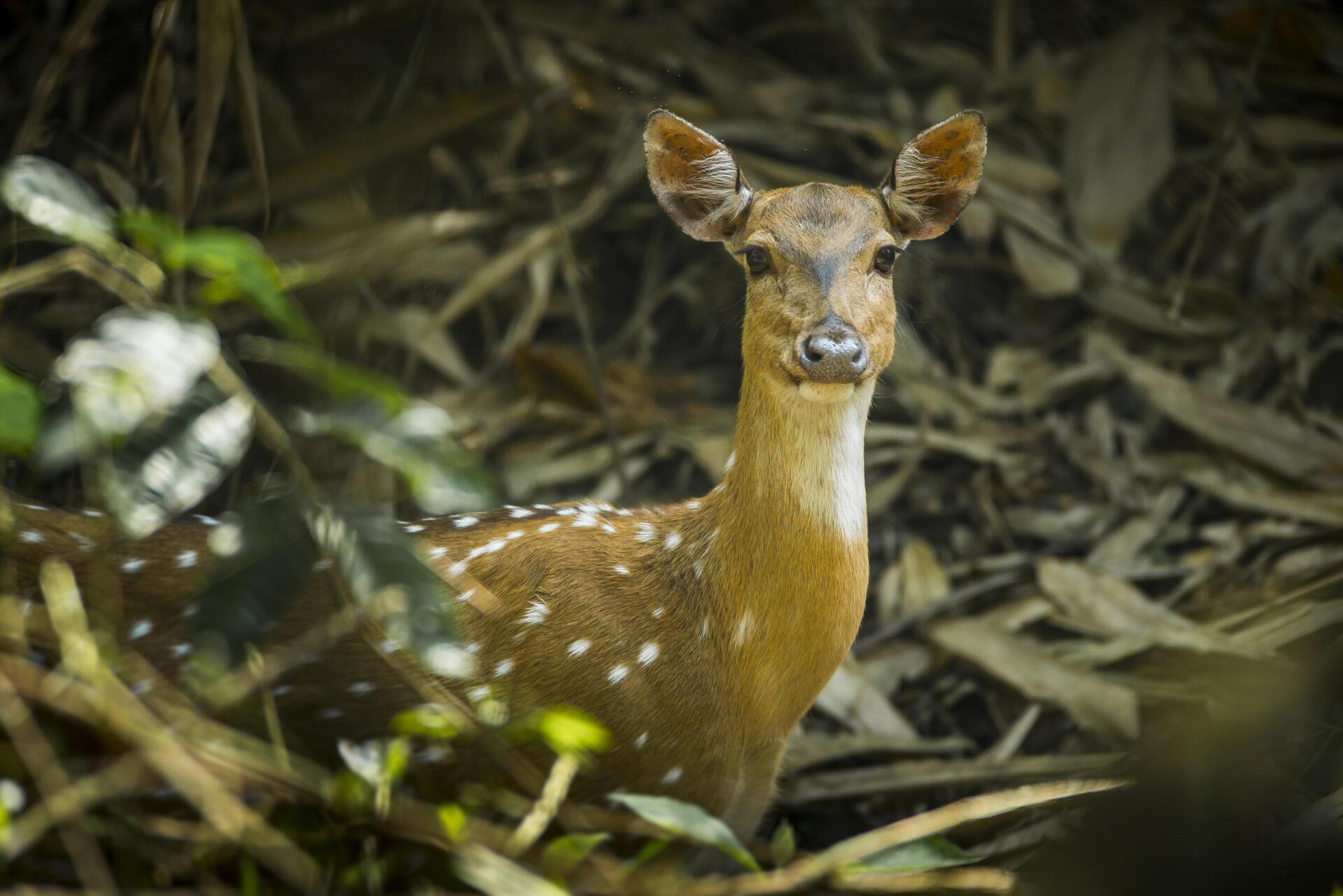 Deeer living at forest  near Meghauli Serai