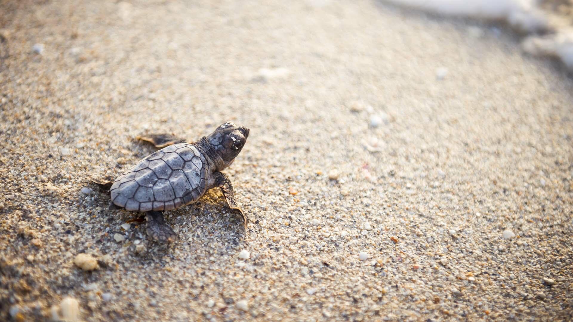 Sea turtle on the sand in Daytona Beach, Florida