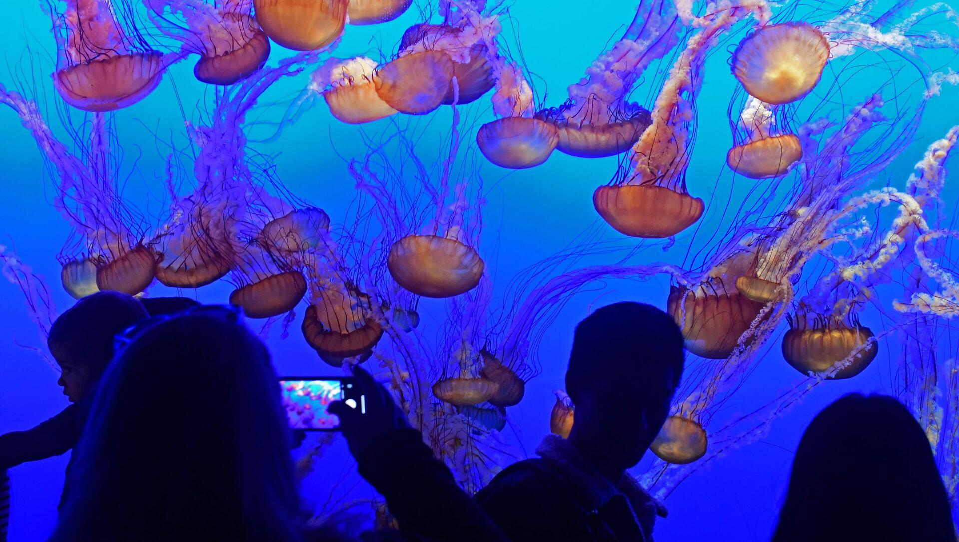 Jellyfish at Monterey Bay Aquarium near Pine Inn