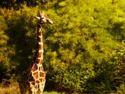 giraffe near bushes