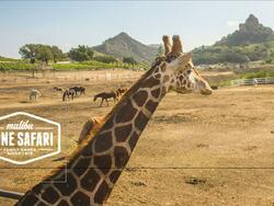 giraffe in the safari