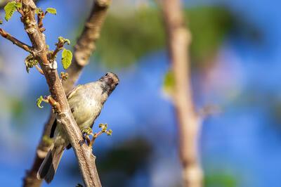 pájaro marrón en rama mirando a la cámara
