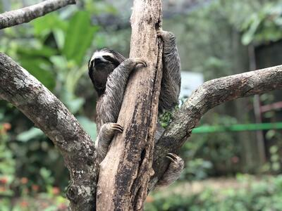 Slough trepar a los árboles