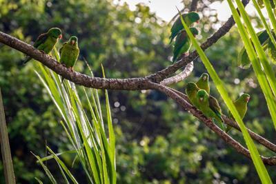 Un montón de pájaro verde en las ramas