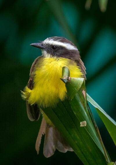 Pájaro amarillo y negro