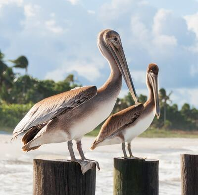 Two pelicans.