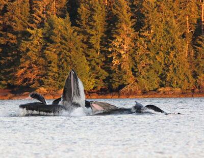 Whales breaching.