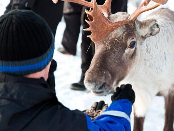 Reindeer at Northern Lights Village in Saariselkä, Lapland, Finl