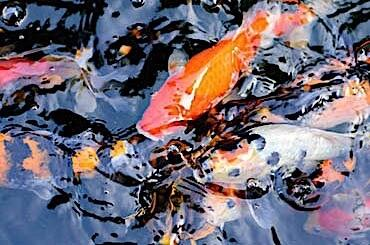 Close photo of koi fish