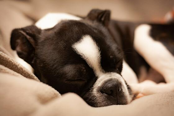 black and white boston terrier puppy