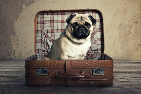 pug sitting in suitcase