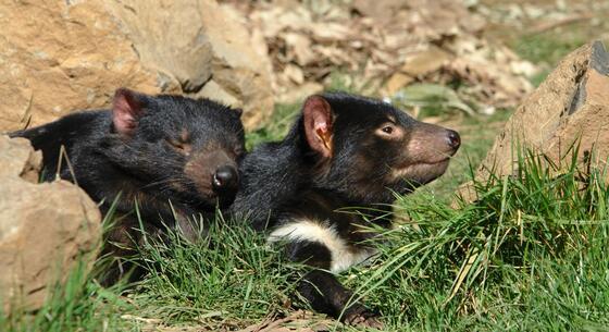 Tasmanian Devils in devils sanctuary near Cradle Mountain Hotel