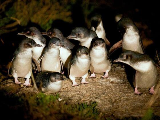 baby Penguins at night near the Freycinet Lodge