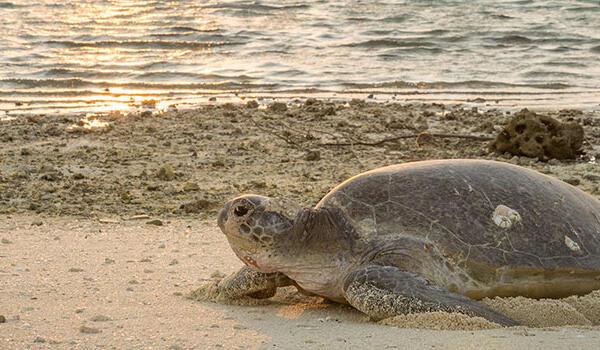 Nesting turtle near Heron Island Resort in Queensland, Australia