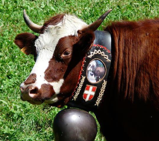 Vache marron de la vallée d'abondance avec une cloche
