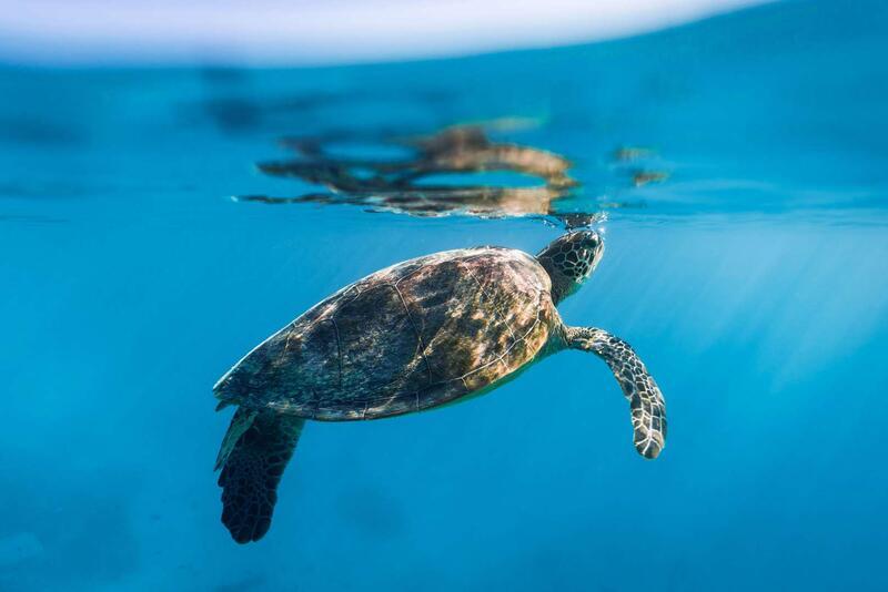 Turtles at Heron Island