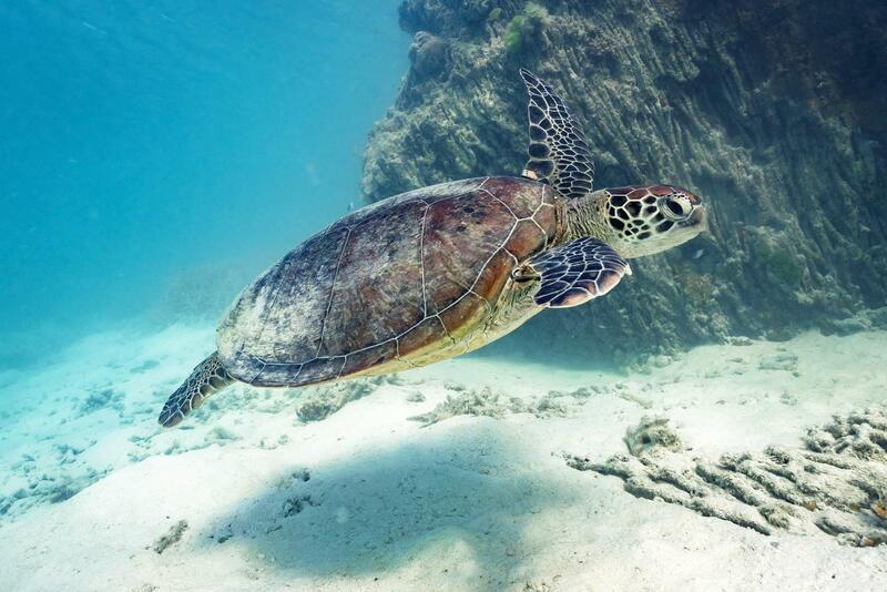 Green Turtle - Heron Island
