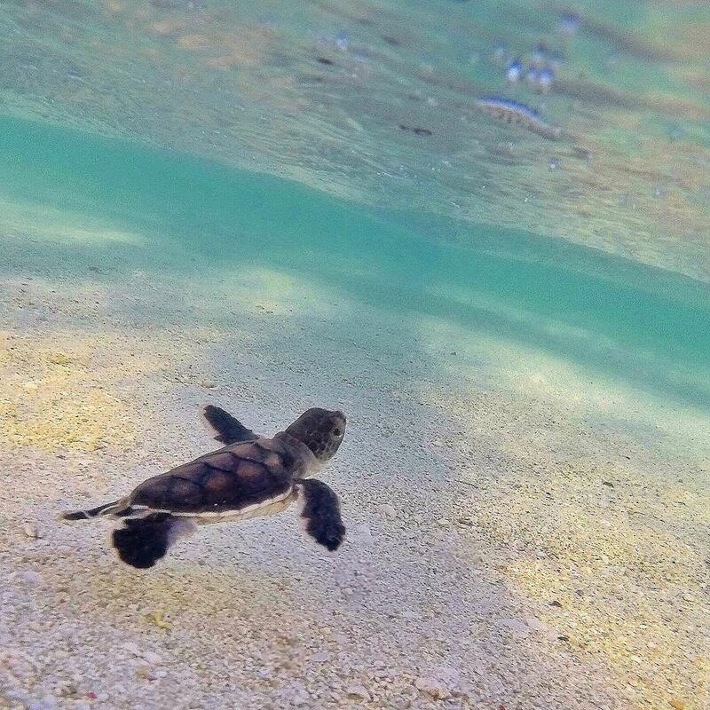 Turtle Hatchling at Heron Island