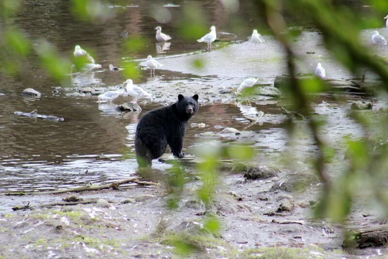 Black bear in river.