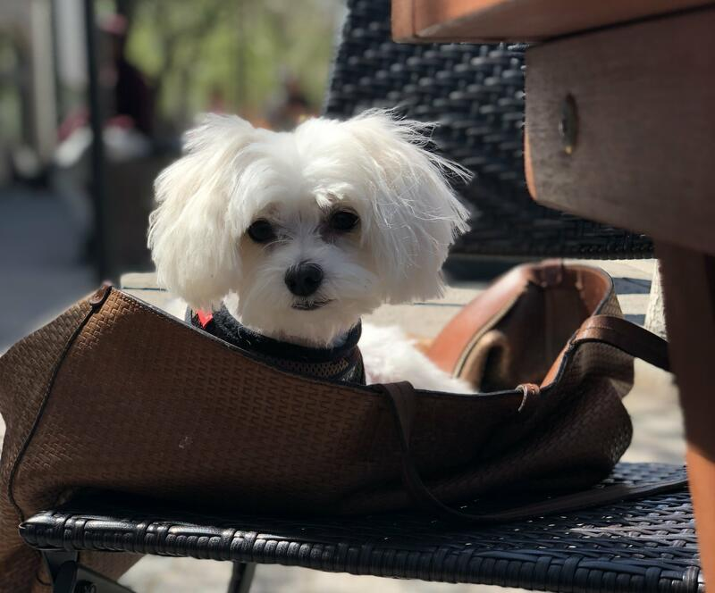 small dog in a tan purse