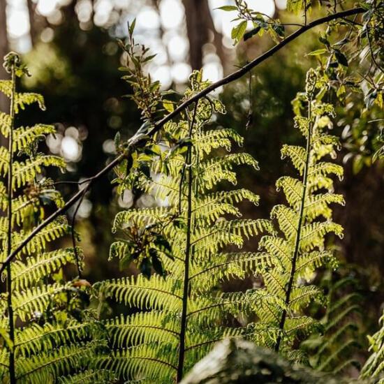 Ferns at the Tasmanian Wilderness  near the Strahan Village