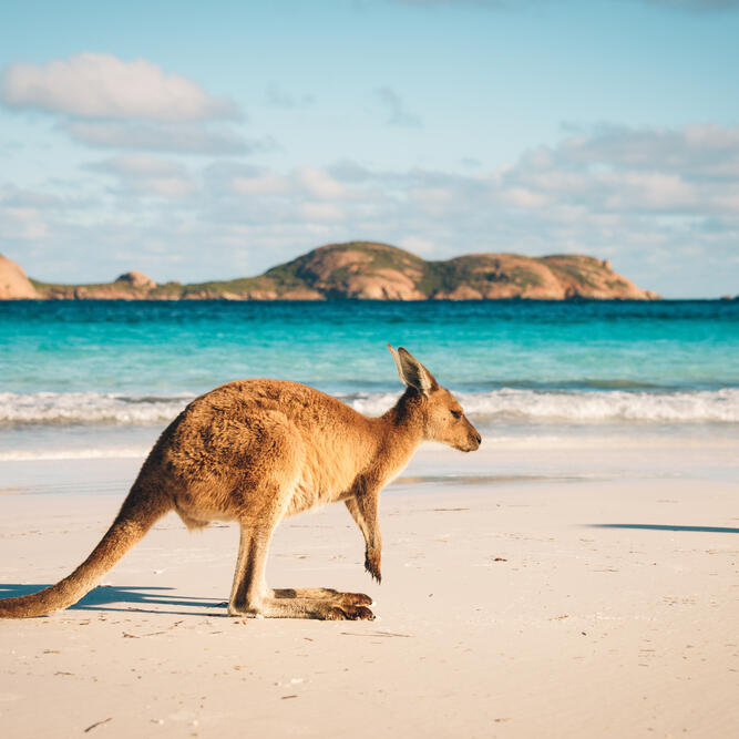 A kangaroo by the beach near Be Fremantle