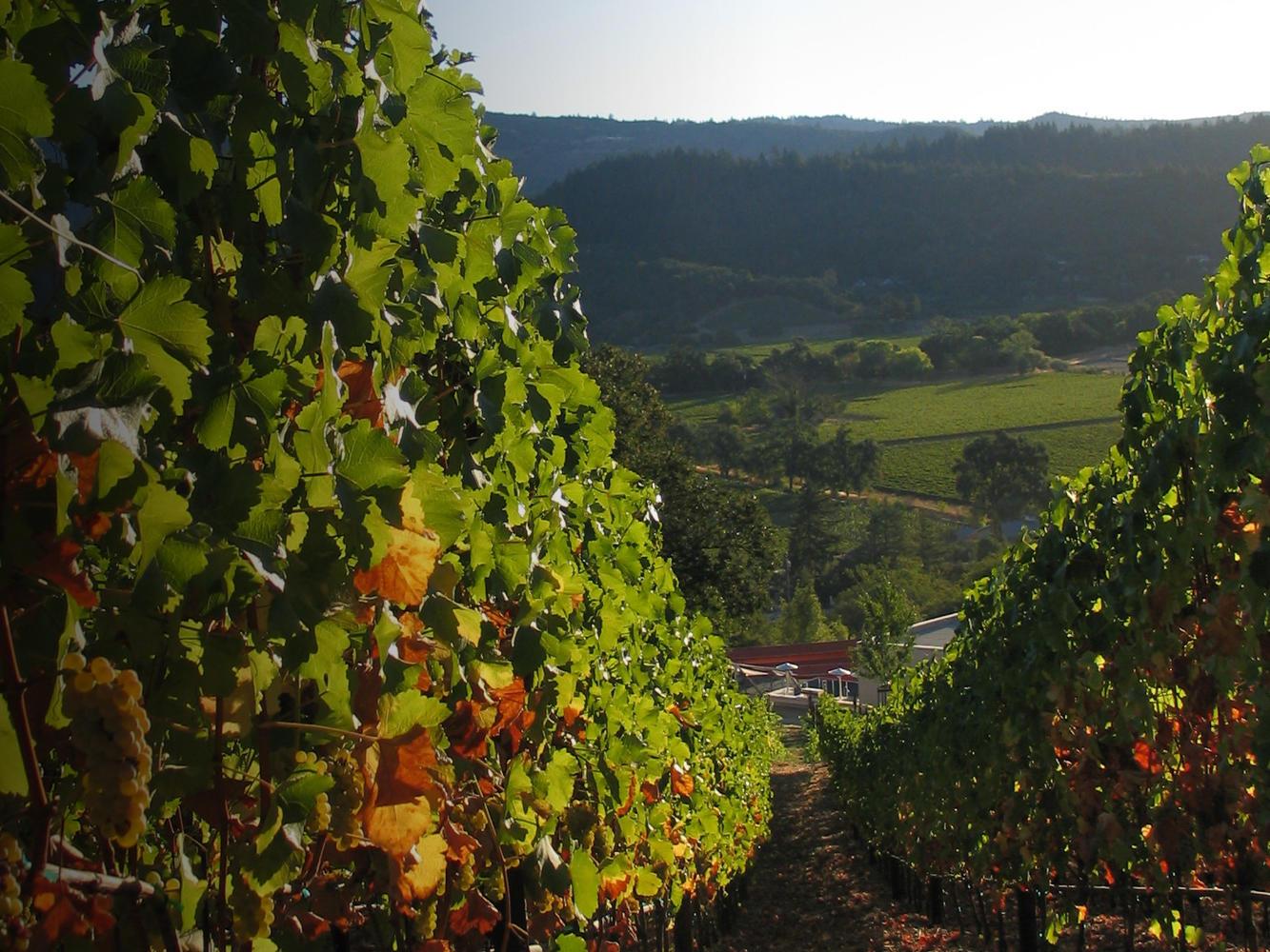 vineyard29