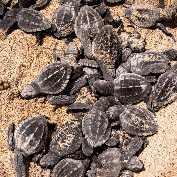 Tortugas bebé