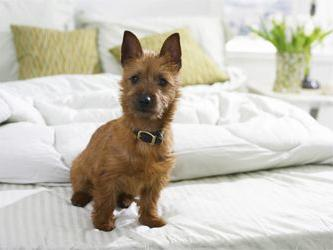 small brown dog on bed