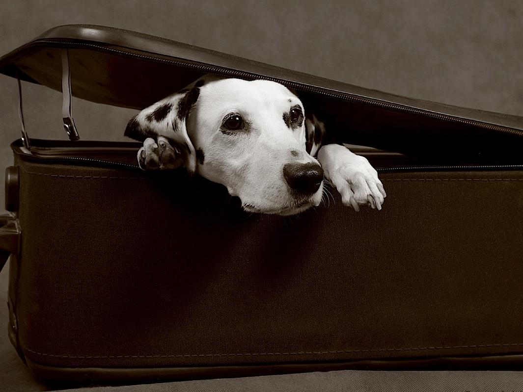 dalmation in suitcase