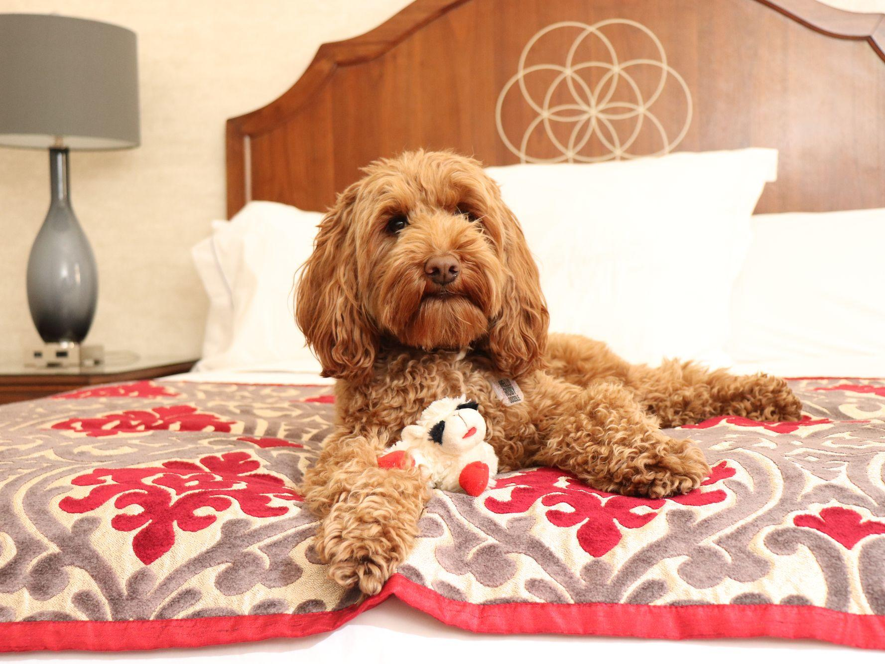 Labradoodle sitting on bed with toy