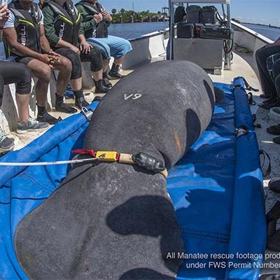 a manatee being rescued