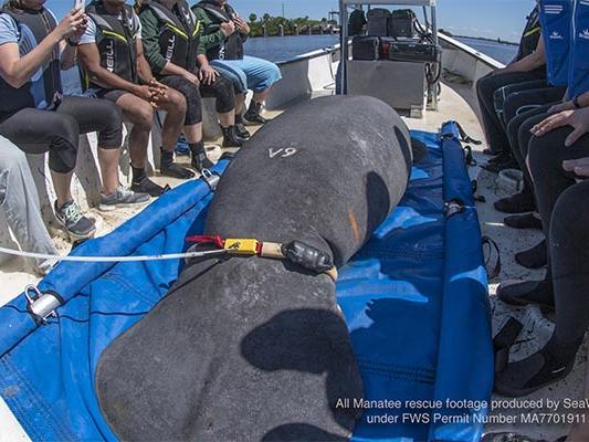 SeaWorld Manatee Rescue
