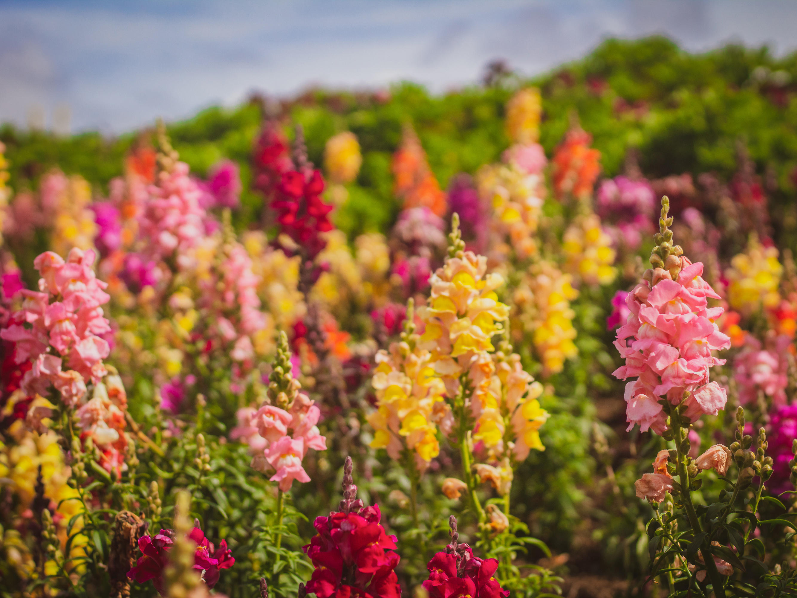 Flower fields of Carlsbad