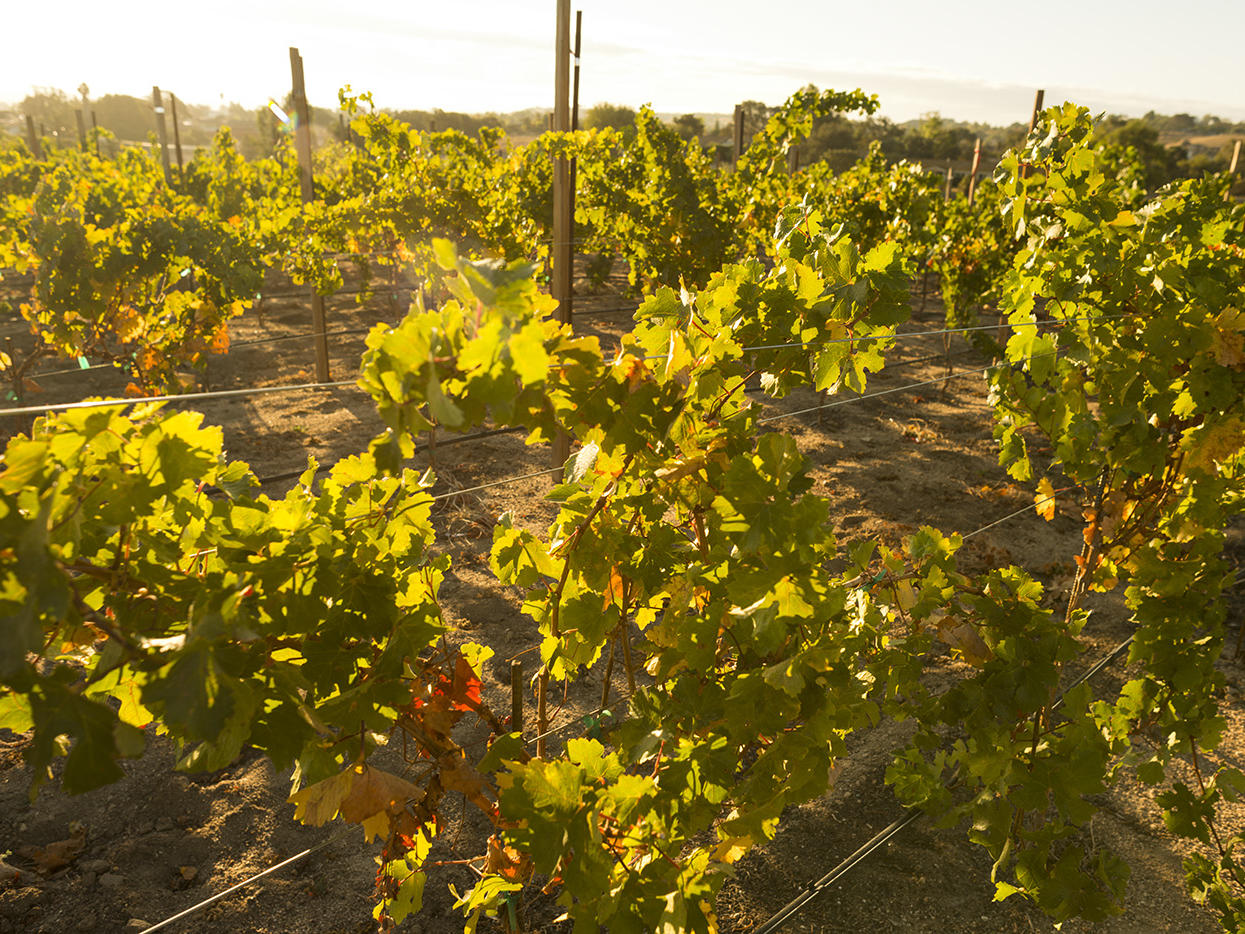Vineyard grapevines at sunset