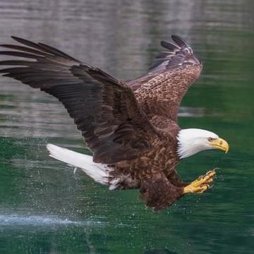 Photo of Bald Eagle landing on the river at Alderbrook