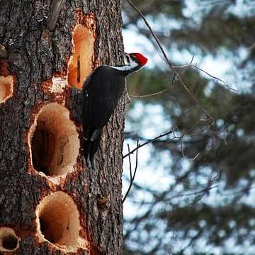 Image of a Pilate Woodpecker at Alderbrook Woods