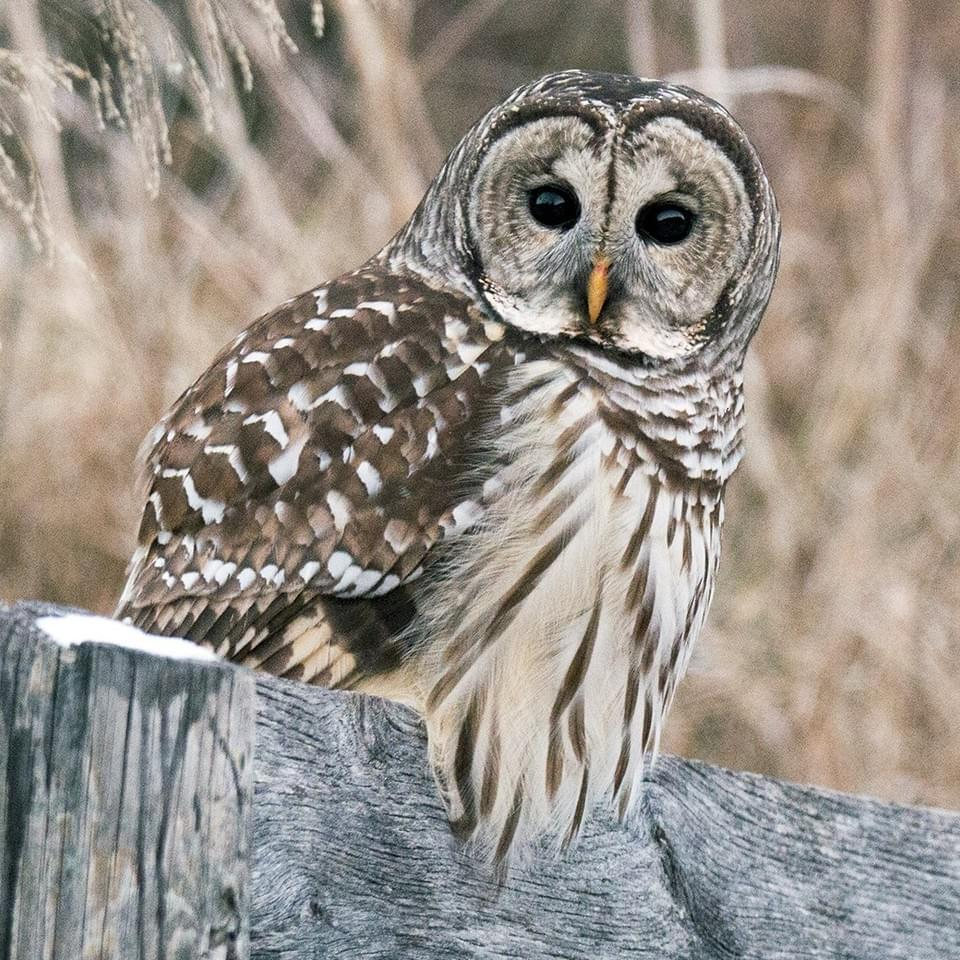 Image of a Barred Owl sitting on a fence at Alderbrook